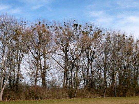 Schaden zu viele Misteln den Wirtsbäumen?