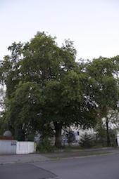 Lerchenau: Buche an der Ebereschenstr. 55