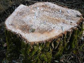 Der Baumstumpf darf nicht entfernt werden, damit die Uferkante nicht zerstört wird