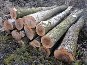 Auch dieses Eschenholz taugt nur noch für die Papierfabrik